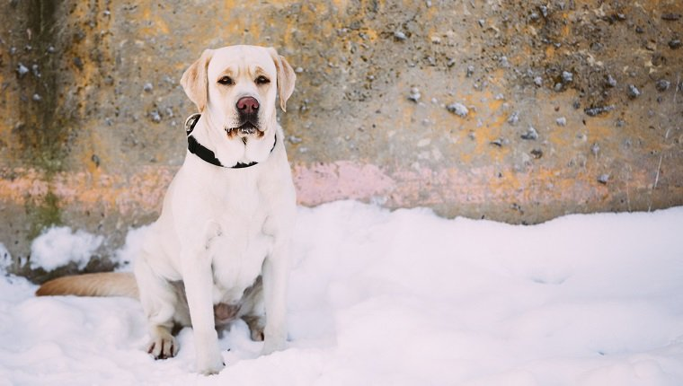 White labrador dog sitting outdoor in snow, winter season.