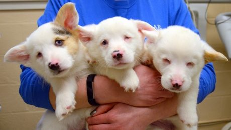 Helen, Ray And Stevie Are Three Adorable Blind Corgis Looking For Forever Homes