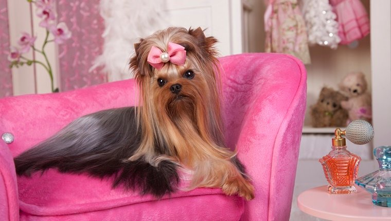 Beautiful Yorkshire terrier lying on a pink lounge chair in her dressing room getting a beauty treatment and lots of beauty rest. Beauty Salon Spa Treament Concept