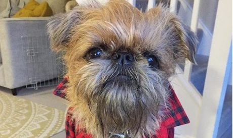 30 Greatest Brussels Griffon Dog Names