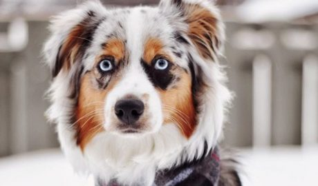 30 Outstanding Names For Australian Shepherd Dogs