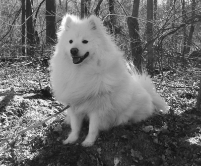 30 Excellent American Eskimo Dog Names [PICTURES]