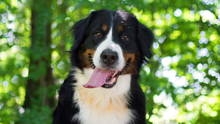 30 Beautiful Bernese Mountain Dog Names Dogtime