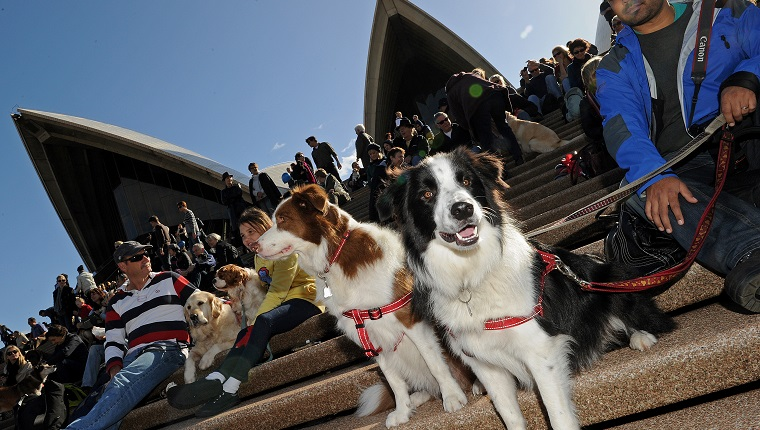 """Dogs and their owners gather on the steps of the Sydney Opera House on June 5, 2010 for a world first """"Music for Dogs"""" concert, the brainchild of New York performance artist Laurie Anderson. Almost 1,000 dog-lovers packed onto the Opera House steps and forecourt to treat their beloved pets to the free outdoor event, which is part of the Vivid LIVE arts festival curated by Anderson and rock legend partner Lou Reed. AFP PHOTO / Greg WOOD (Photo credit should read GREG WOOD/AFP/Getty Images)"""