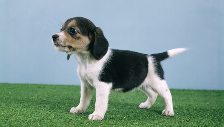 BEAGLE PUPPY STANDING ON ARTIFICIAL TURF GRASS SIDE VIEW (Photo by H. Armstrong Roberts/ClassicStock/Getty Images)