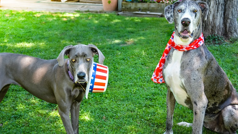 Mixed breed and Great Dane dogs celebrating 4th of July