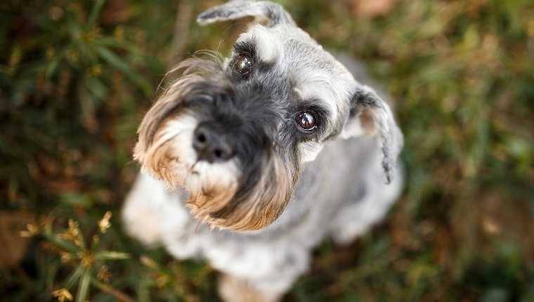 Cute schnauzer dog looking up.