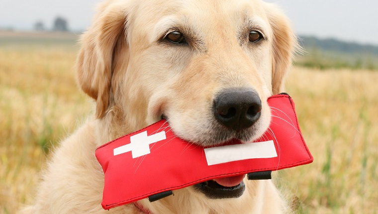 Golden Retriever with First-Aid-Kit