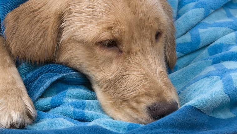 Sick Golden Retriever.