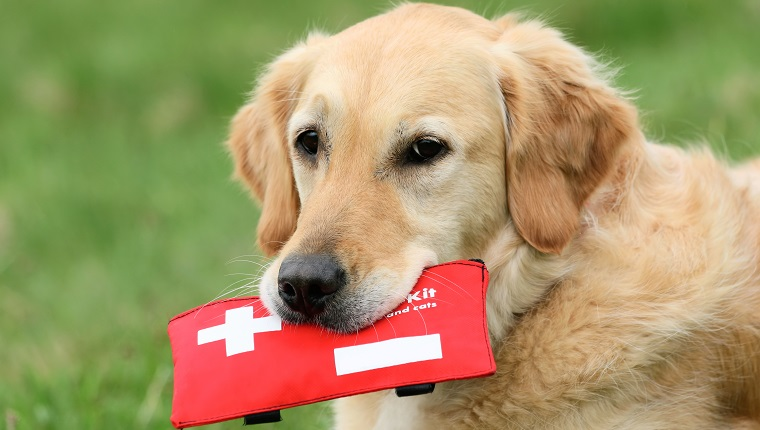 Golden Retriever holding first-aid-kit
