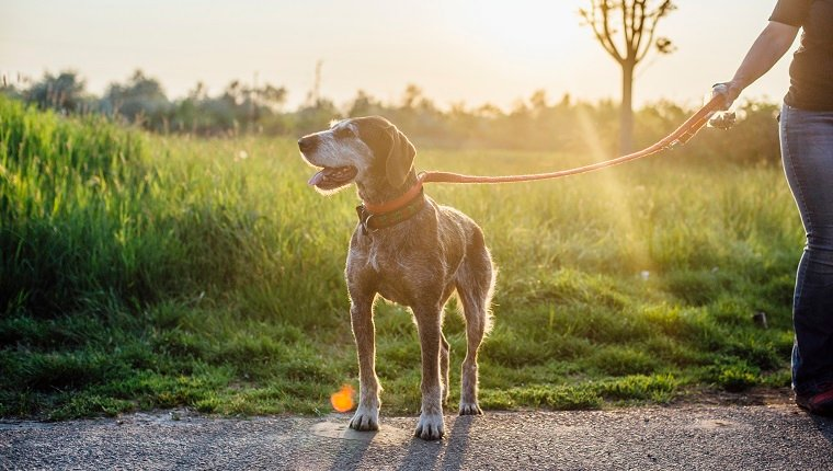 Old hound on leash outdoors in rays of setting sun