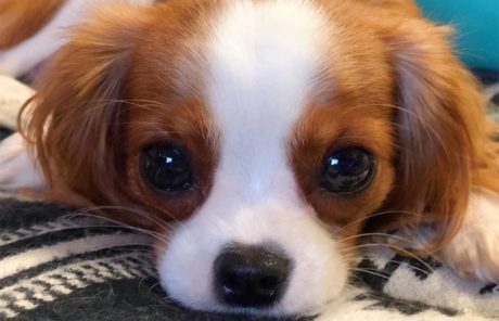 30 Best Names For A Cavalier King Charles Spaniel [PICTURES]