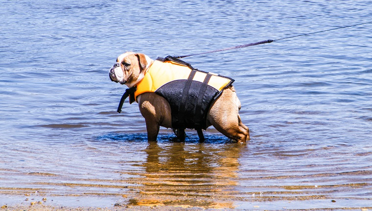 The Bulldog is a medium-sized breed of dog commonly referred to as the English Bulldog or British Bulldog