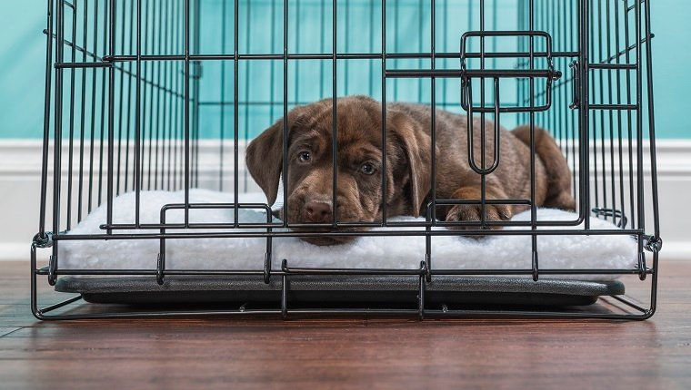 A cute young Chocolate Labrador puppy lying down in a wire dog crate looking at the camera wanting out, the crate is sitting on hardwood floor inside a home with a white baseboard and blue wall in the background