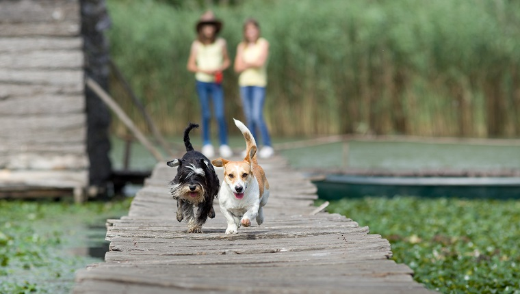 Two adorable dogs running on wooden dock while girls cheering in background