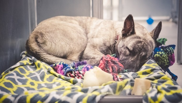 Homeless dog, brindle German Shepherd mix, confined in an animal shelter and waiting hopefully for an adoption and a new home. She is curled up on a dog bed with blankets, sound asleep.