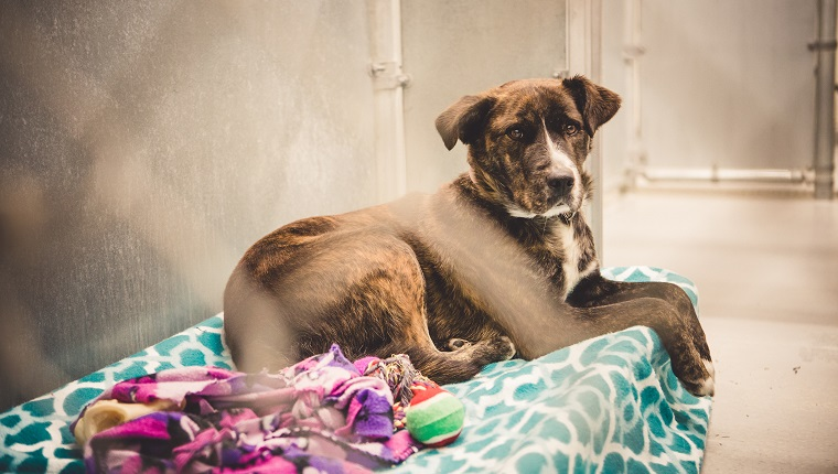 A beautiful brindle catahoula leopard dog lying on blankets and a dog bed inside an animal shelter. She is looking at camera with a sad and hopeful expression while she waits for an adoption and a new forever home.