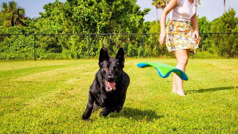 Woman throwing a frisbee for a German Shepherd dog to catch, Florida, Fort De Soto, United States