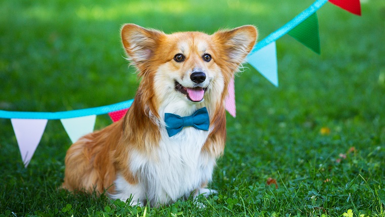 "birthday off beautiful corgi fluffy on green lawn and colorful party flags on the background""n"