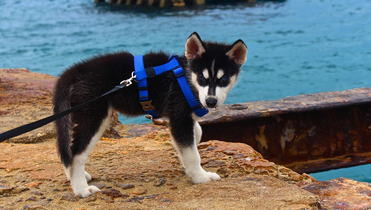 Siberian Husky Puppy On Rock At Shore