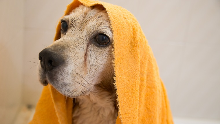 Wet Beagle taking a bath at home bathtub covered with orange towel.