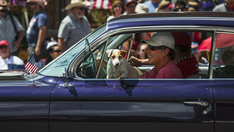 Jack Russell dog hangs in window July 4, Independence Day Parade, Telluride, Colorado.