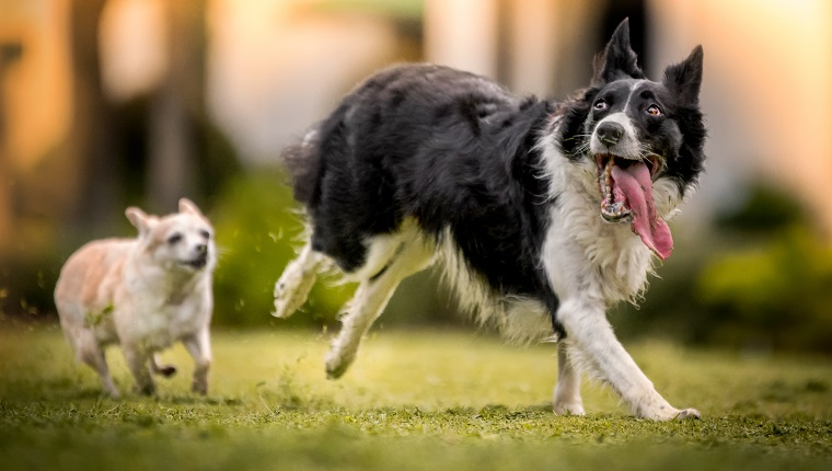 A black and white Border Collie runs happily with a long tongue hanging out while a small tan Chihuahua chases after.