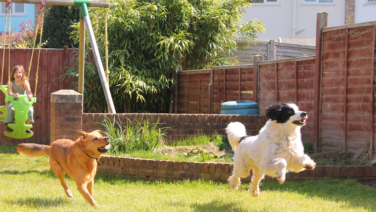 Two dogs jumping and playing in the garden with a young girl playing in the garden