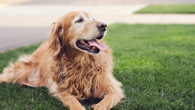 Golden retriever dog laying and panting in green grass on a summer afternoon in Farmington Minnesota 2011.