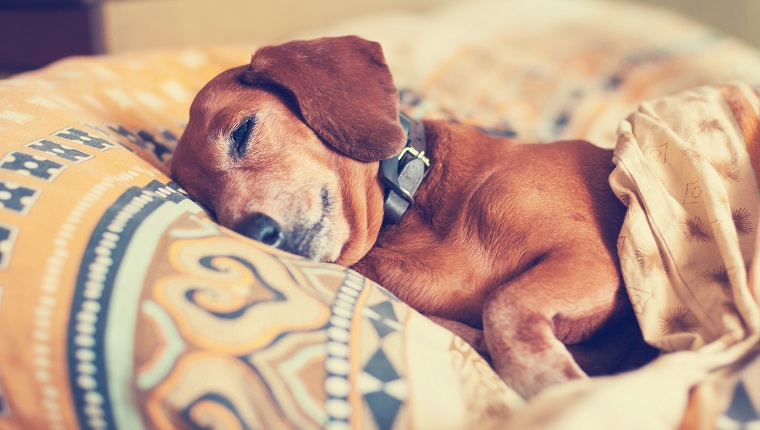 Cute brown dog, the dachshund, with narrowed eyes, sleeps comfortably under the blanket on the blurred background.