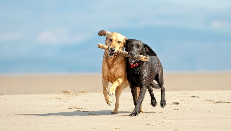 two dogs retrieving the same stick on the beach