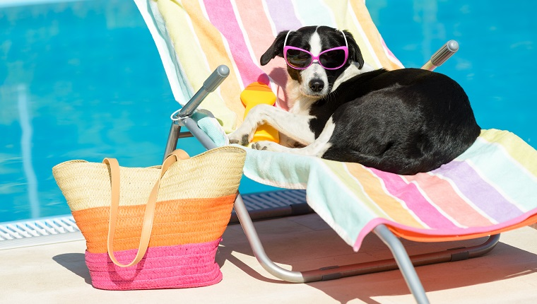 Funny female dog sunbathing on summer vacation wearing sunglasses. Pet relaxing on a hammock at swimming pool.
