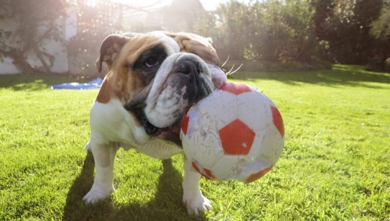bulldog with soccer ball