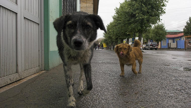 Abandon dogs at the street in Puerto Natales, Chile, South America