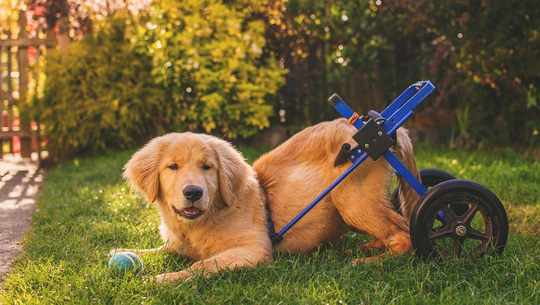 Golden retriever puppy in a wheelchair