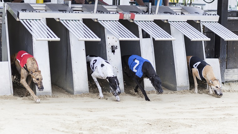 Starting greyhounds on racetrack. Traditional greyhound uniforms - no specific property traceable. Minor motion blur