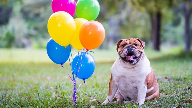 Bulldog And Balloons