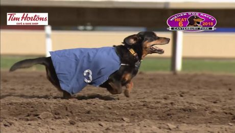 Three-Legged Dachshund Wins Wiener Dog Race And Our Hearts