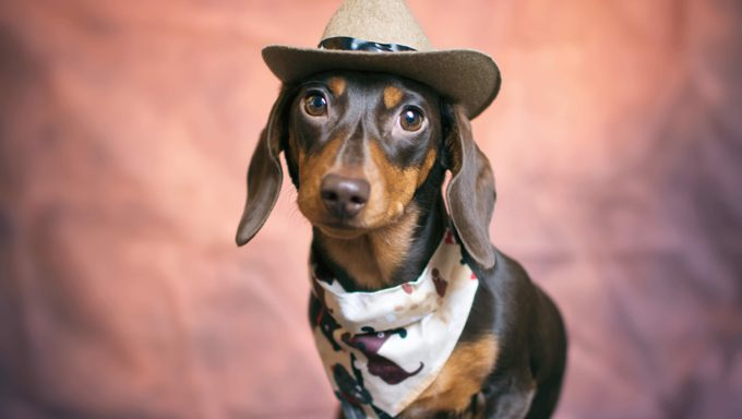 Dachshund Puppy dressed like a cowgirl