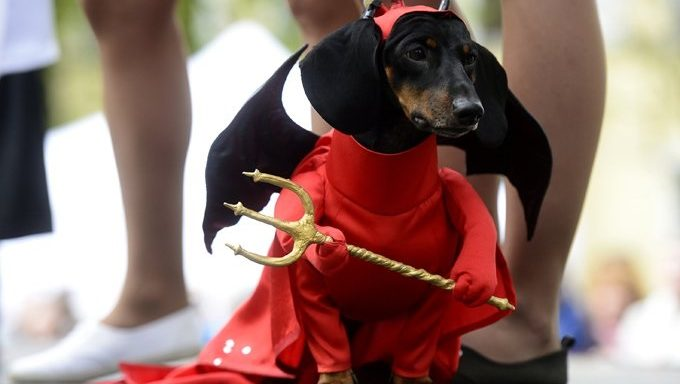 dachshund dressed as devil
