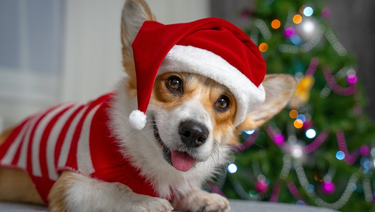 Funny shooting of cute red and white corgi laying on the sofa and wearing Santa Claus costume. New year or Christmas tree lights background