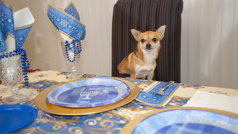 Chihuahua is seated at a dining room table that is set for a Hanukkah party
