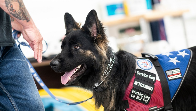 A service dog waits for training at the Paws of War office in Nesconset, Long Island, New York on June 10, 2019. - The service dogs are either trained or being trained to help veterans through difficult times by Paws of War, an association funded entirely by private donations that provides the shelter animals free of charge.