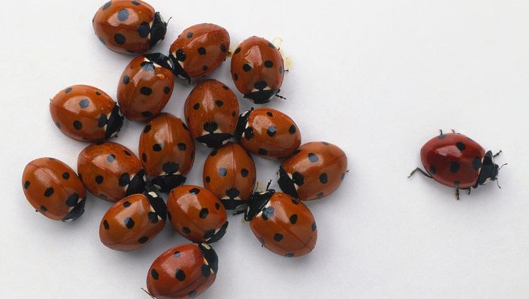 large group of ladybugs