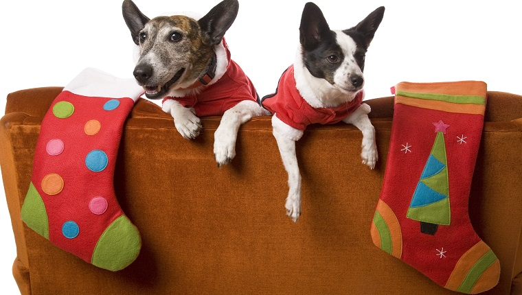 Two little dogs waiting for Santa with their Christmas stockings over the back of a couch. Isolated on white.