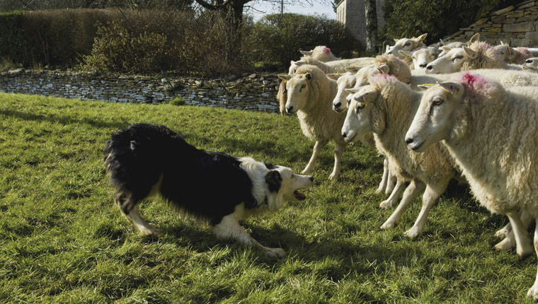 border collie herding sheep, herding dog group