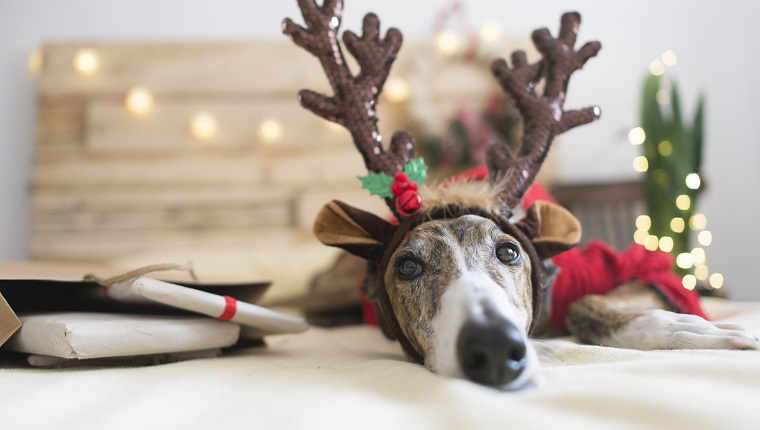 Portrait of Greyhound wearing deer antler headband