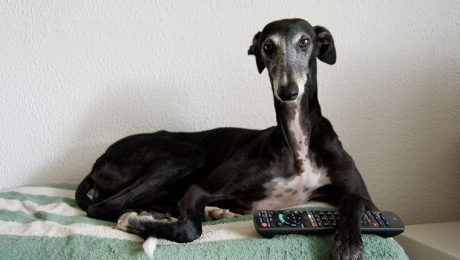 Retired Racing Greyhounds Need Homes, And You Can Help!