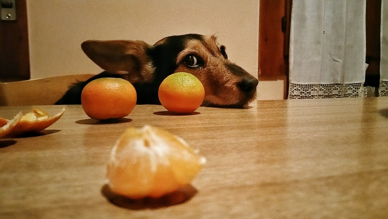 dog with oranges