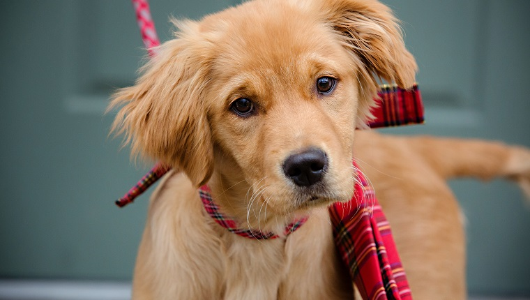 Golden Retriever Puppy with Red Plaid Box at Christmas Time.